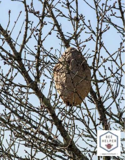nido-avispa-asiatica-deterco-prolutec-BeeHelper
